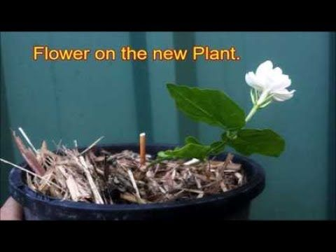 Follow The Step By Step Guide To Successfully Growing Jasmine From Stem Cuttings Or Layering Method Jasmine Plant Plants Propagating Plants