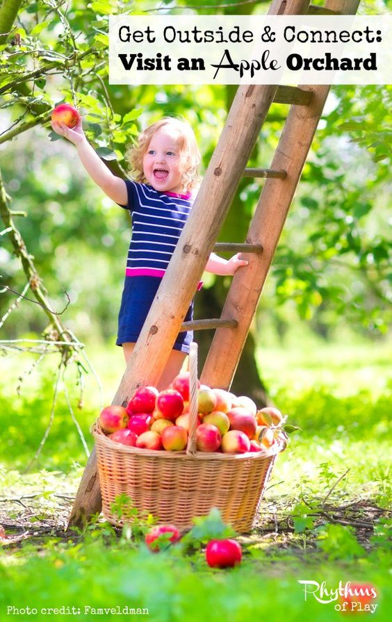 An outing to an apple orchard can be the beginning of a wonderful harvest celebration for both schools and families. This article contains everything you need to enjoy harvesting apples this season. In it you will find links to a harvesting guide, where to find apple orchards in your area, harvesting baskets, fun apple activity's, and a bunch of awesome apple recipes to enjoy the fruits of your labors.