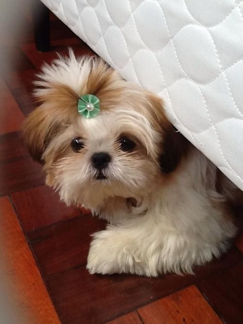 100 Unique Names For Small Dogs The Paws Shih Tzu Cute Baby