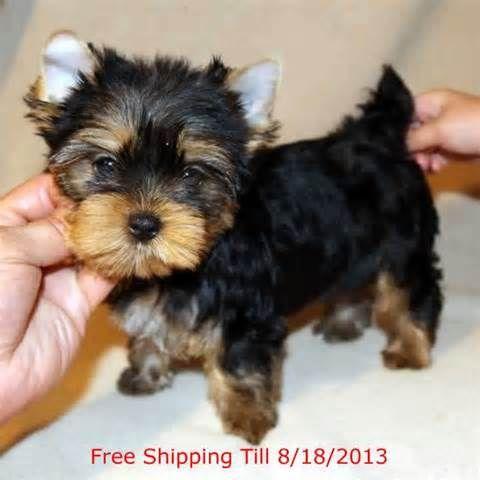 Precious Micro Teacup Yorkie Puppies For Adoption