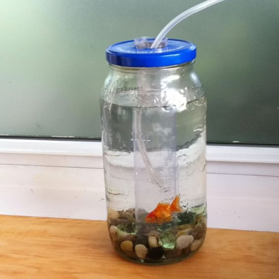 Home made fish tank out of a pickle jar needed 1 for Fish in a jar