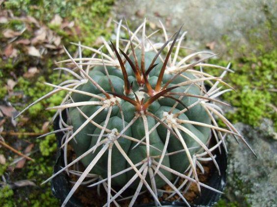 <Cactus, succulent> Gimuno Tenpyo round 1_ image 1
