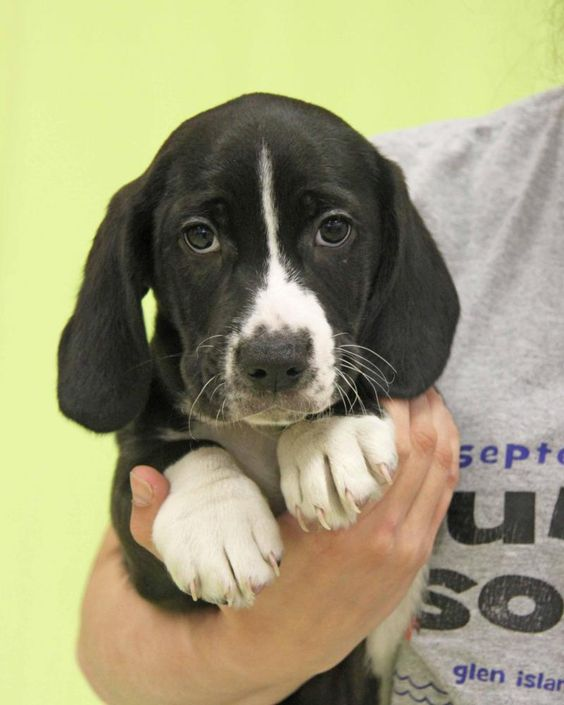 Woodstock is an adoptable Basset Hound searching for a forever family near New Rochelle, NY. Use Petfinder to find adoptable pets in your area.