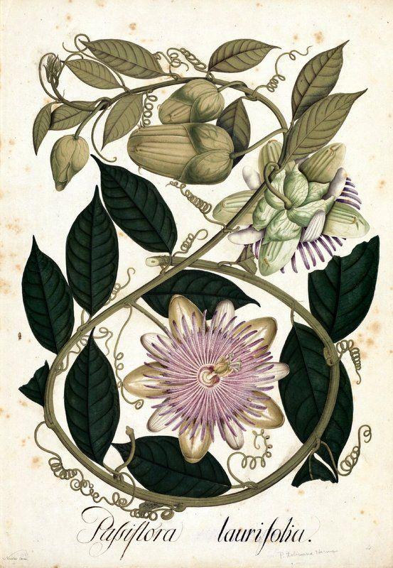 Passiflora laurifolia. Proyecto de digitalización de los dibujos de la Real Expedición Botánica del Nuevo Reino de Granada (1783-1816), dirigida por José Celestino Mutis: www.rjb.csic.es/icones/mutis. Real Jardín Botánico-CSIC.