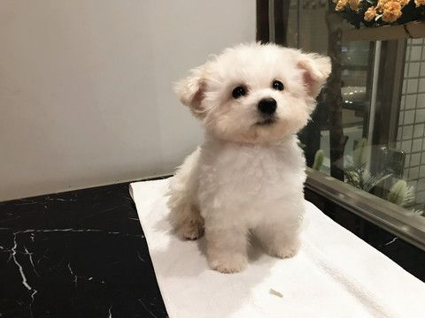 Bichon Frise Puppy For Sale In San Jose Ca Adn 70445 On