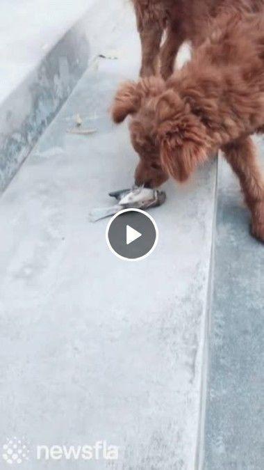 Esse pássaro é mais esperto do que o cachorro imaginava