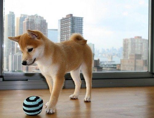 shiba with ball