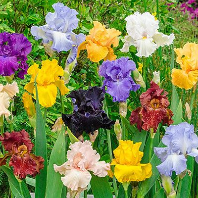 Iris Steal The Show In Mid To Late Spring With Large Ruffled Blossoms In A Variety Of Colors And With A Price Of Just Part Shade Flowers Bearded Iris Flowers