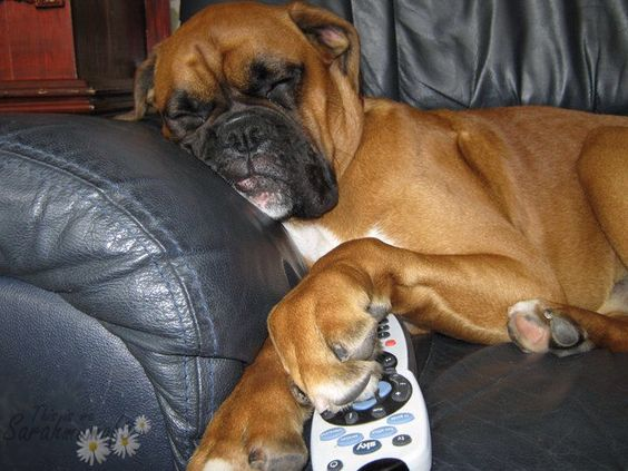 Image from http://makingmoments.co.uk/wp-content/uploads/2013/11/boxer-dog-sofa-tv-controller-funny.jpg.