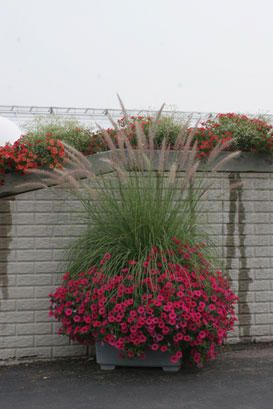 Supertunia Vista Fuchsia & Ruby Mountain Grass. Sun. Container garden. Large container planting.