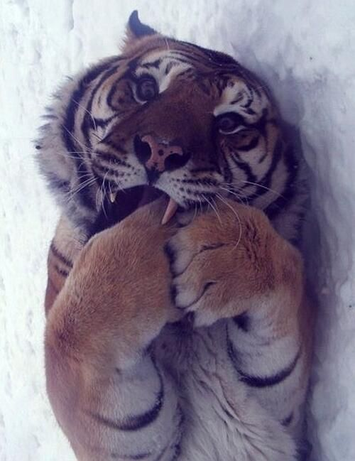 Tiger; there's something stuck here between my teeth, I've almost, yes, I've got it!