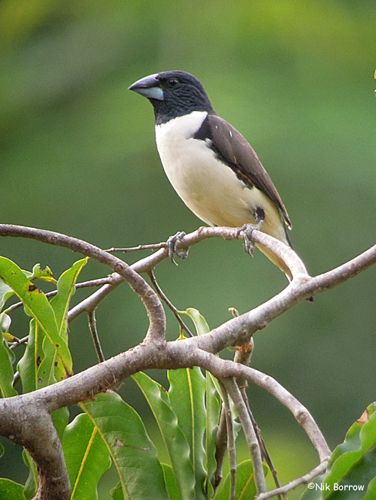 The Magpie Mannikin or Magpie Munia (Lonchura fringilloides) is a species of estrildid finch found in southern and central Africa. It has an estimated global extent of occurrence of 1,400,000 km².