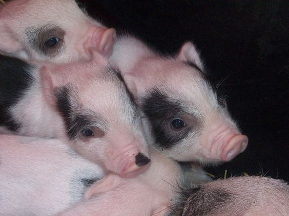 baby piglets at the fair