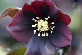 Hugh Nunn a English nurseryman and plant breeder has been breeding and propagating Hellebores for the past 15 years. The result is the Harvington collection of Hellebores. They are all hand pollinated which improves plant quality and clarity of the colours