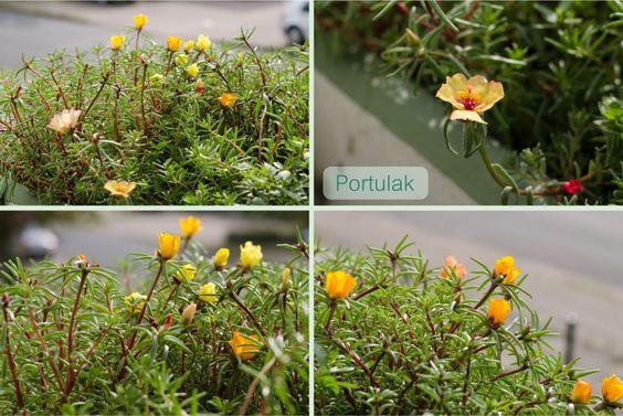 Portulak - Es gibt immer mehr Blüten, total toll!
