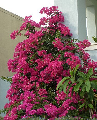 Growing tips for Bougainvillea Plants