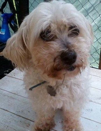 Adopt Muffin On Dogs Pet Adoption Maltese Dogs