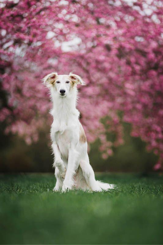 Hundefotografie Kirschbluten Hundefotografie Whippet Hunde Fotos