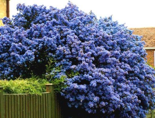 Niebieski Zimozielony Prusznik Victoria Sadzonki 7847277382 Oficjalne Archiwum Allegro Garden Plants Plants Flower Garden