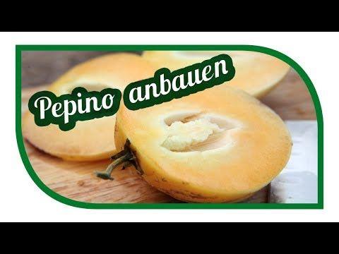 Pepino Erfolgreich Anbauen Melonenbirnen Im Garten Vermehren Youtube Melonenbirne Melone Birne