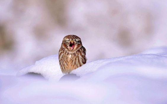Eine Eule im Schnee in Südkorea.