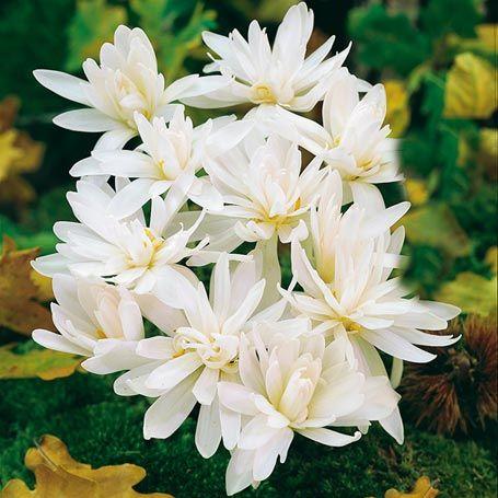 Herbst-Zeitlose Album Flora Plena, gefüllt - Frühjahrsblüher (Pflanzung im Herbst):