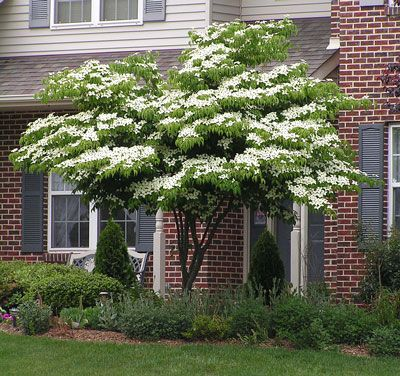 White kousa dogwood tree for front yard with sitting bench for Best dwarf trees for front yard