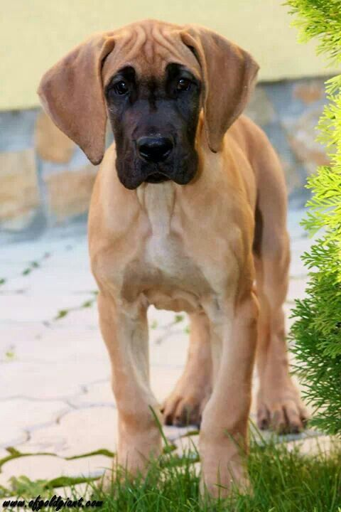 beautiful coloring on this little baby great dane