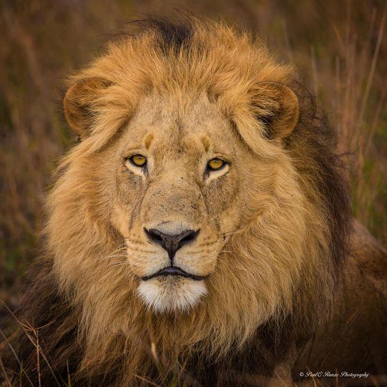 The KingbyPaul Runze Male Lion - Okavango Delta, Botswana