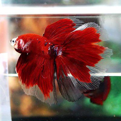 Pinterest the world s catalog of ideas for Male koi fish