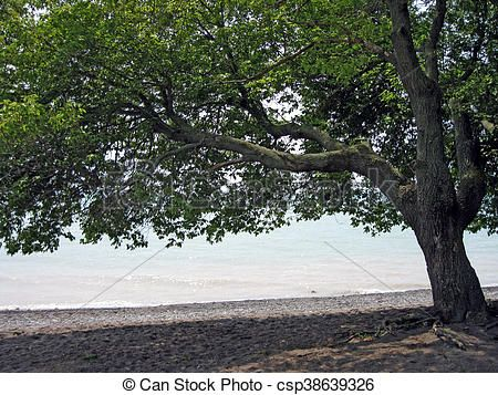 Beautiful, old tree providing shade on the beach.