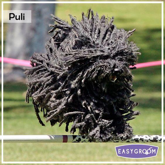 Puli #Dog #Puppy #Standard #Raza #EasyGroom #Perro #Canino