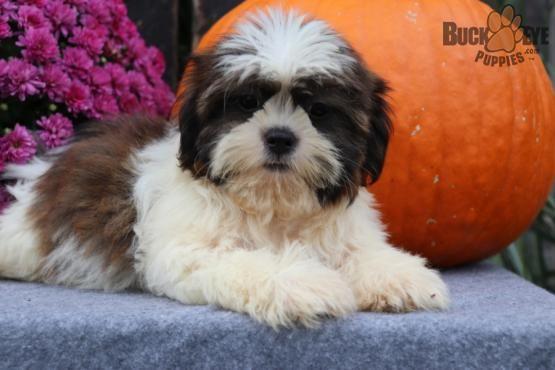 Gabby Shih Tzu Puppy For Sale In Millersburg Oh Buckeye Puppies Puppies For Sale Shih Tzu Puppy Shih Tzu