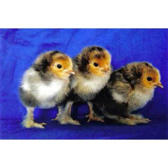 Brahma chicks!