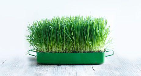 Superfood Weizengras: Kein grünes Wunder |  Fit und gesund dank Weizengras? Was von den grünen Halmen – ob pur, als Pulver oder Saft – zu halten ist, erklären unsere Experten