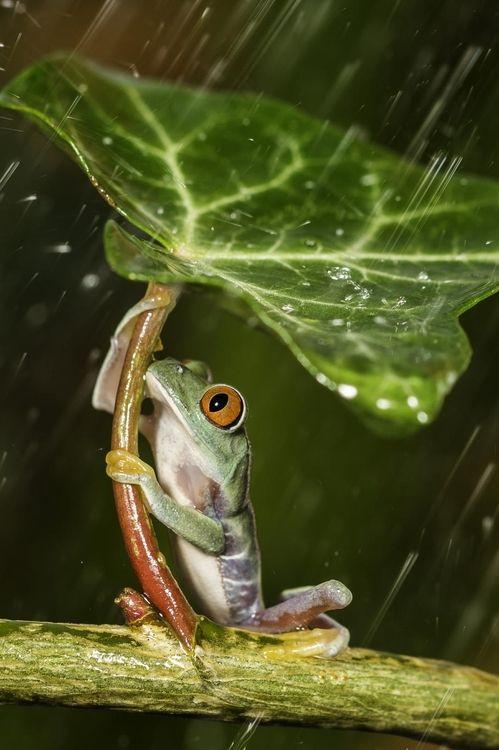 Grenouille s'abritant de la pluie sous une feuille !!!!!!!!!!!!!!!!!!!!!!!!!!!!!!!!!!!!!!!!