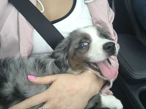 Miniature Australian Shepherd Puppy For Sale In League City Tx Miniature Australian Shepherd Puppies Miniature Australian Shepherd Australian Shepherd Puppy