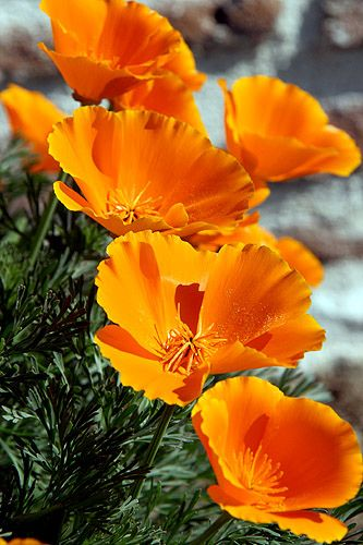 California Orange Poppies - Boogie Oogie Outta Sight Orange by Live Mulch #poppies #orange Poppies: