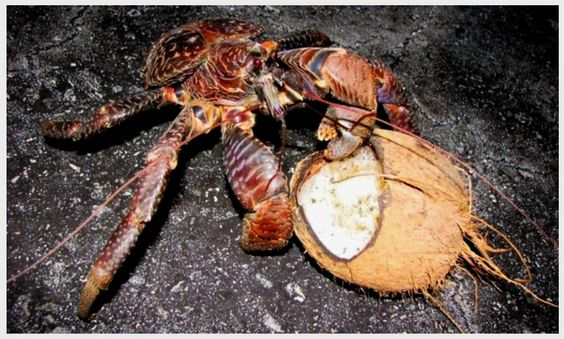 Coconut Crab: They mainly eat certain fruits and nuts. ~ [Wikipedia]