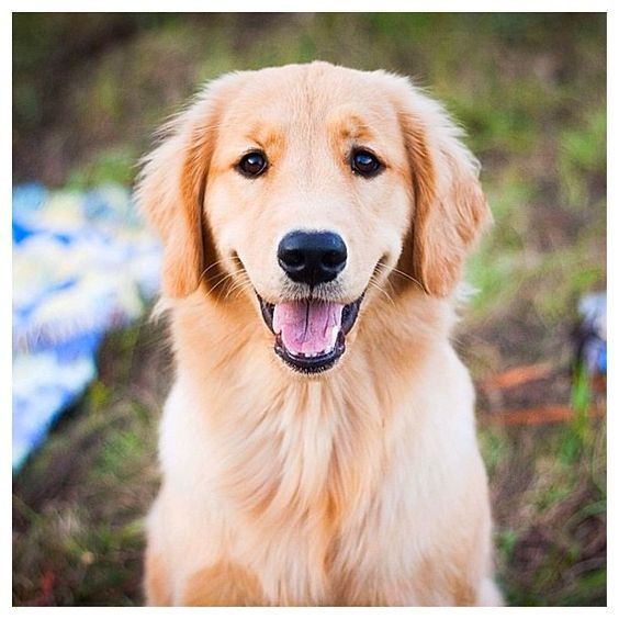 Golden Retrievers are just as cute as adults as they are as puppies