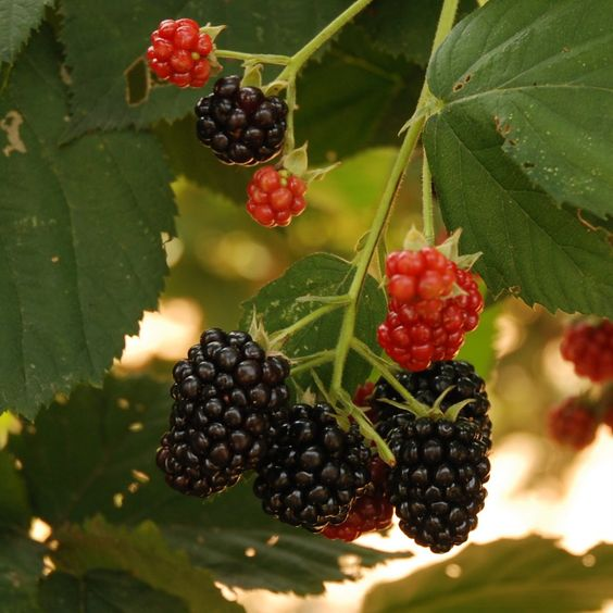 Blackberries are red and hard when they are immature but turn black and shiny as they ripen