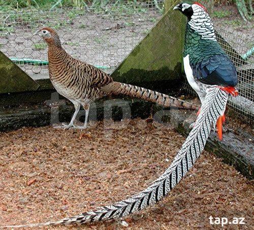 Dekorativ Quslar Limonli Qirqovul 7 Ayliq Almazni Qirqovul 7 Ayliq Tovuz Qushu Sade 8 Ayliq Korolevski Qirqovul 3 Ya Pretty Birds Beautiful Birds Bird Drawings
