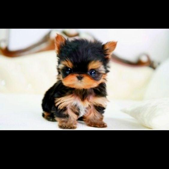 : Teacup Yorkie, Adorable Animals, Iwant, Teacupyorkie, Cute Animals, Baby Animals, Furry Friends, Socute