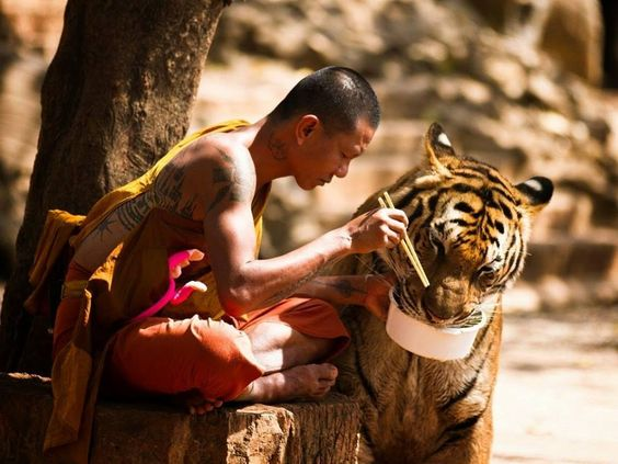 Tiger Temple in Thailand.