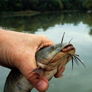 How To Hold A Catfish Catfish Fishing How To Catch Catfish Fishing Tips