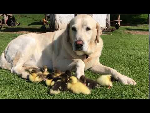 Fred The 10 Year Old Labrador Has Become An Internet Sensation