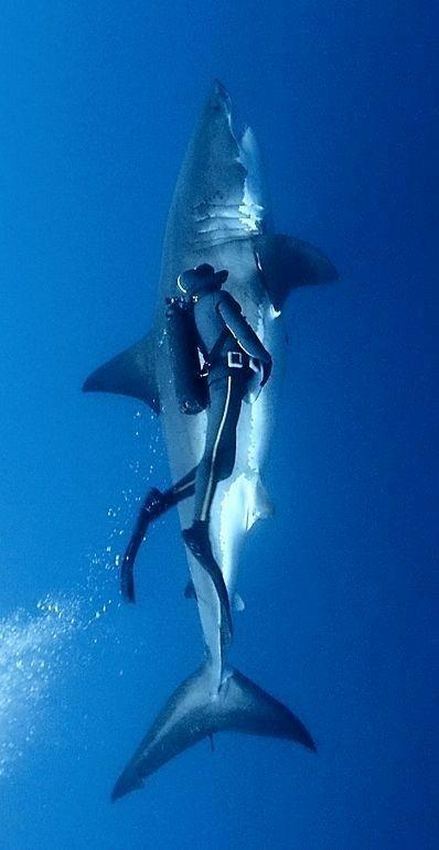 ダイバーとホホジロザメ