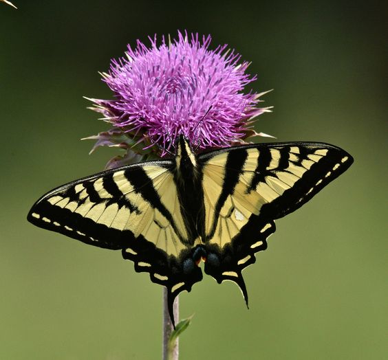 Tiger Swallowtail on a Bull Thistle