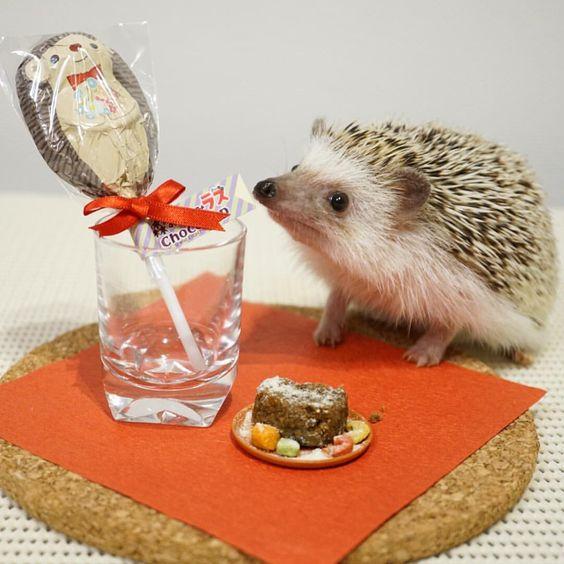 バレンタインチョコケーキ風ハリフードをもらってご機嫌のハリです。 左のは人用チョコです。 #hedgie #hedgehog #ハリネズミ #はりねずみ #hérisson #pet #バレンタイン #玻璃