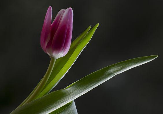 Image from https://ilmiosguardo.files.wordpress.com/2013/02/tulipano-rosa.jpg.